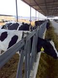 荷斯坦奶牛